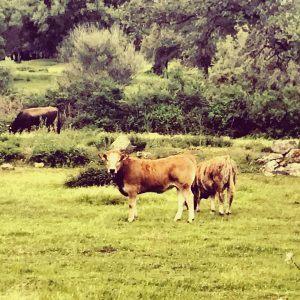 vaches corse
